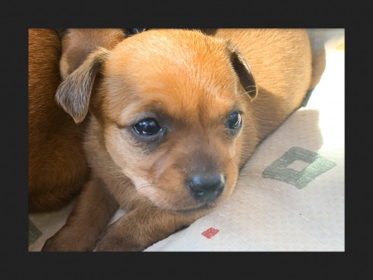 Camada Chihuahua Ginger